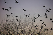 A large flock of American crows (Corvus brachyrhynchos), known as a murder, flies past bare winter trees along North Creek in Bothell, Washington, at dusk on their way to their night roosting grounds. An estimated 10,000 crows roost in a small area in the city each night.