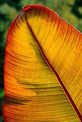 The backlit leaf of Ensete ventricosum 'Maurelii' syn. Musa arnoldiana, Musa ensete - Abyssinian banana, Ethiopian banana