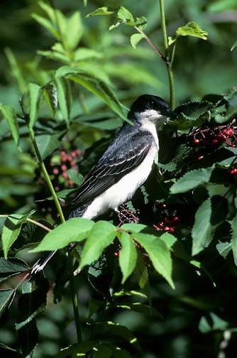 Eastern Kingbird (Tyrannus tyrannus) perched in a ripening elderberry bush during the summer.