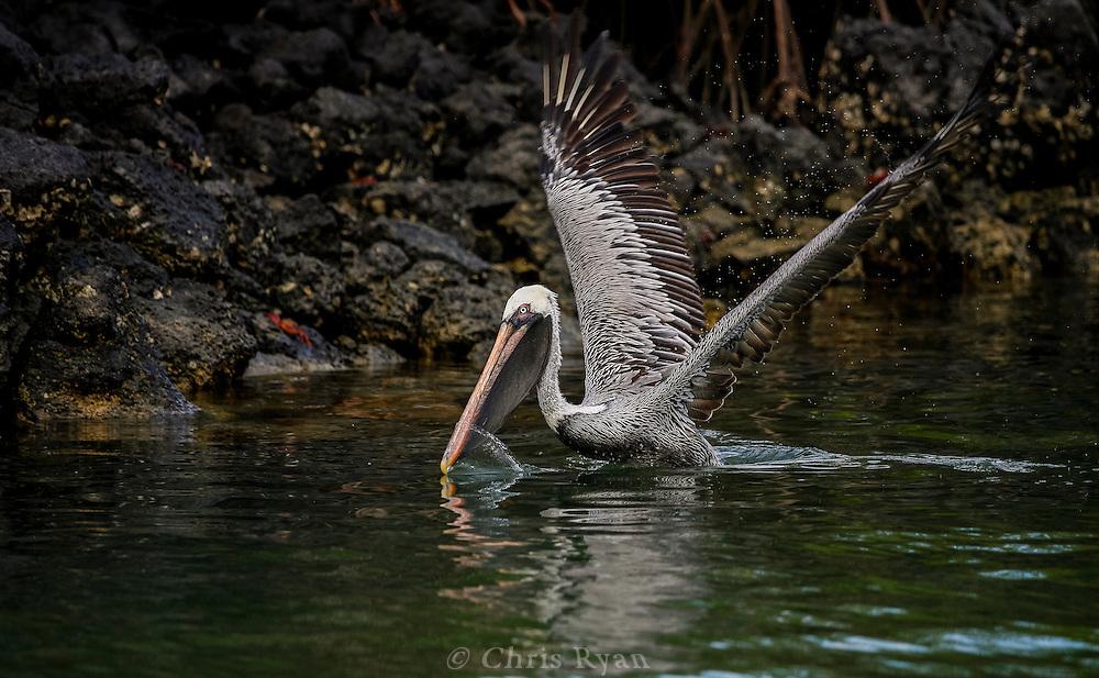 Brown pelican on takeoff, Galapagos