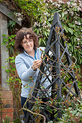 Pruning and tying in a rose on an obelisk