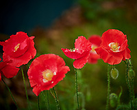 Red, Oriental, or Islandic Poppy. Image taken with a Nikon D850 camera and 105 mm f/2.8 macro VR lens