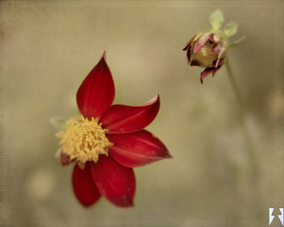 Red flower with half its petals missing and a yellow center on the left and a but of the same kind of in the background on the right on a textured pastel olive background. Taken with a LensBaby Velvet 56 macro lens.