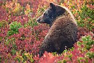 Black Bear cub (Ursus americanus) in a huckleberry patch in autumn color in Mount Rainier National Park, Washington, USA