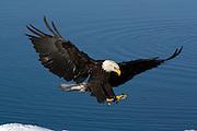 Bald Eagle, Haliaeetus leucocephalus, landing on snow, Kenai Peninsula, Homer Spit, Homer, Alaska. Digital original, #2006_0749 ©Robin Brandt