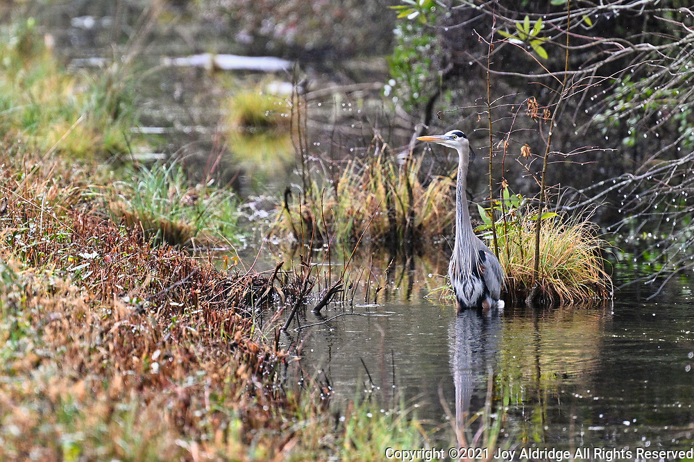 Great Blue Heron hunting in a canal at the Alligator river national Wildlife Refuge, North Carolina. Image taken by Joy Aldridge with a NIKON Z 6_2 and NIKKOR Z 70-200mm f/2.8 VR S Z TC-2.0x at 400mm, ISO 2800, f5.6, 1/2000.