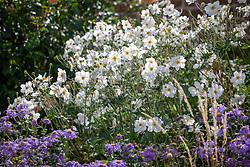 Anemone hupehensis f. alba - Japanese anemone