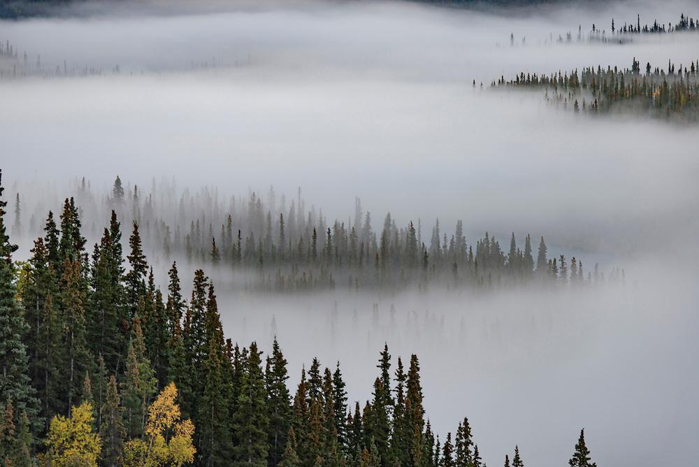 Morning fog amongst white spruce and aspen trees in fall, Denali Park, Alaska