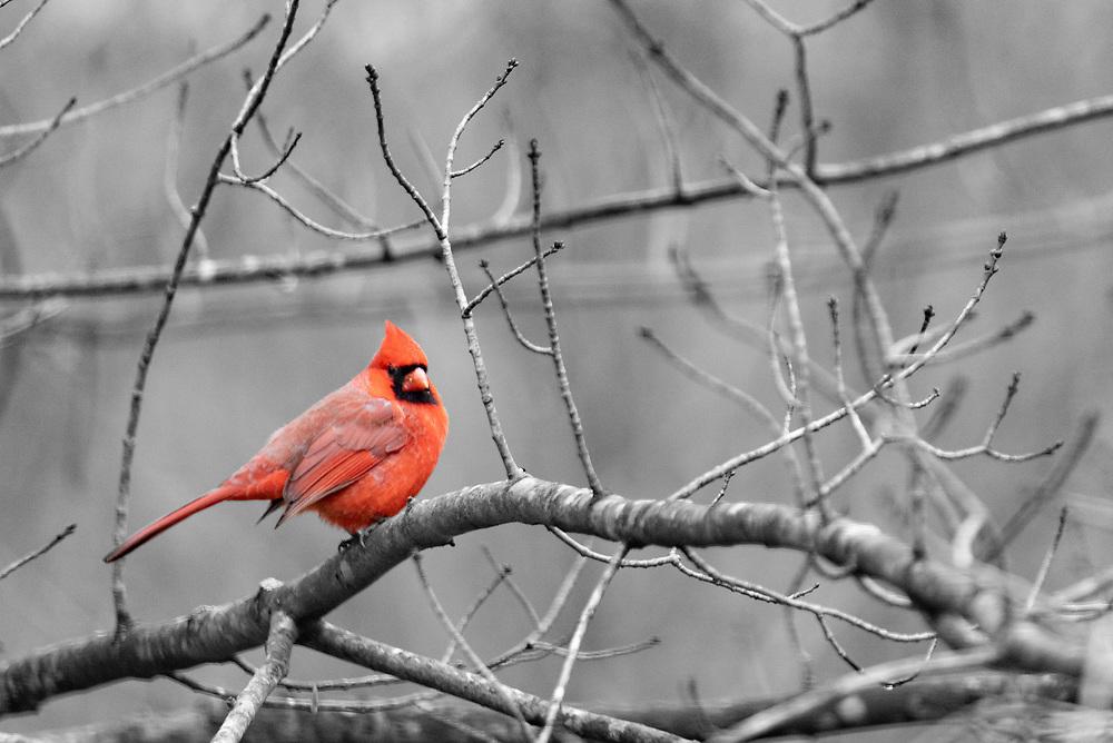 Red cardinal on winter limbs
