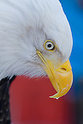 Bald Eagle, Haliaeetus leucocephalus, Portrait, Kenai Peninsula, Homer Spit, Homer, Alaska. Digital original, #2006_0576 ©Robin Brandt