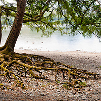 A tree with prominent roots on the beach of Calfclose bay in the Lake district, UK