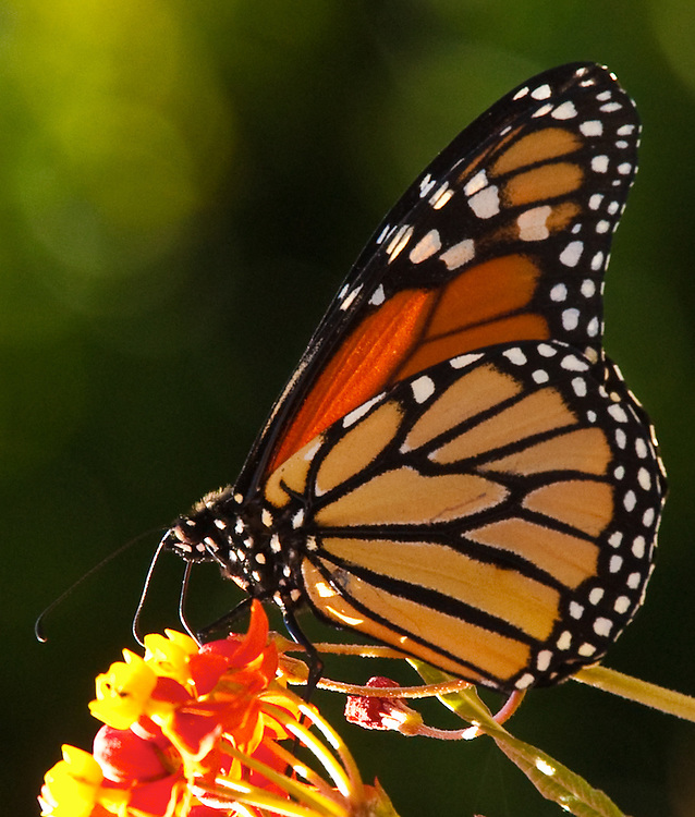 from my garden in sausalito california I was honored to see the caterpillar, become a crysalis then a monarch butterfly.