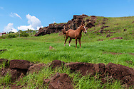 A beautiful wild horse stands on the side of a hill on Easter Tsland (Rapa Nui).