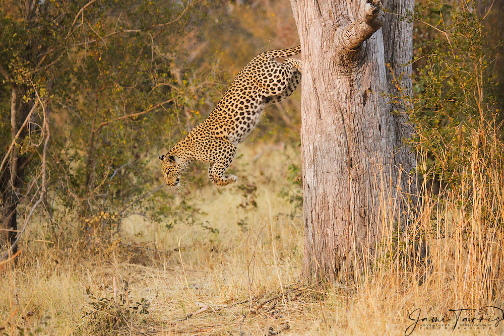 An alert and anxious leopard (Panthera pardus) jumping from a tree at dusk, Moremi Game Reserve, Botswana, Africa