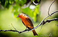 Summer Tanager captured in Mills Canyon, New Mexico in May 2019