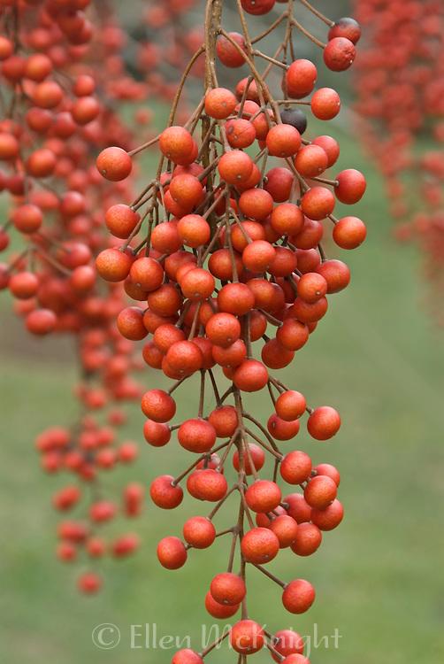 Berries from the Iigiri Tree (Idesia polycarpa)