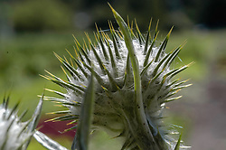 Wegdistel, Onopordum acanthium