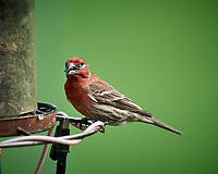 House Finch. Image taken with a Nikon D5 camera and 600 mm f/4 VR lens (ISO 900, 600 mm, f/5.6, 1/1250 sec).