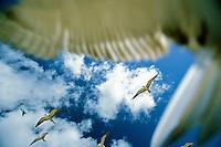 Sooty Terns hover over a nesting colony on an islet near Ua Huka Island, Marquesas Island, French Polynesia.
