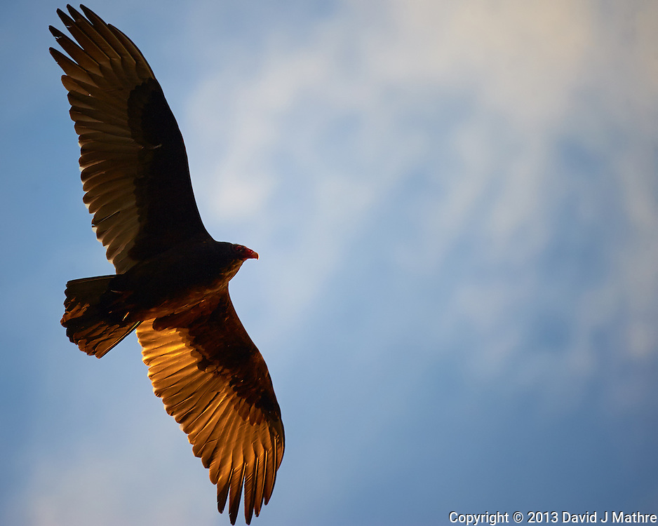 Turkey Vulture Soaring in the Late Afternoon Sun. Backyard Nature in New Jersey. Image taken with a Nikon D3 camera and 80-400 mm VRII lens (ISO 800, 400 mm, f/5.8, 1/1000 sec).