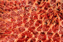 venomous spines of Crown-of-Thorns sea star, Acanthaster planci, Kona, Big Island, Hawaii, Pacific Ocean