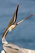 "Brown Pelican in full breeding colors ""throwing"" its head - closeup.(Pelecanus occidentalis).La Jolla, California USA"