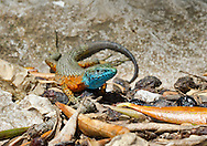 Blue-throated Keeled Lizard or Dalmatian Algyroides - Algyroides nigropunctatus - male. The most abundant lacertid in Corfu. This male is in display colours in his territory along a wall in an olive grove.