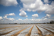 Cloches covering vegetable crop, Boyton, Suffolk, England