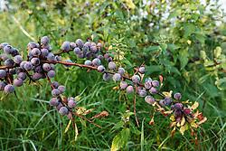 Sleedoorn, Prunus spinosa
