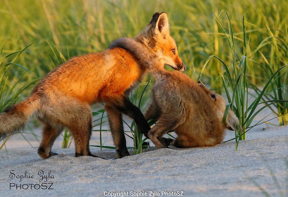 Red Fox Kits Rough Play
