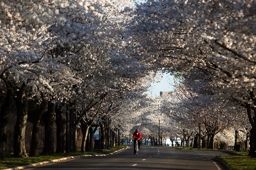 A cyclist rides his bike around East Potomac Park under the Cherry Blossoms in Washington DC on Tuesday March 29, 2011.