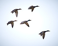 Mallard Ducks in flight at the Sourland Mountain Preserve. Image taken with a Nikon D300 camera and 80-400 mm VR lens (ISO 200, 400 mm, f/5.6, 1/800 sec).