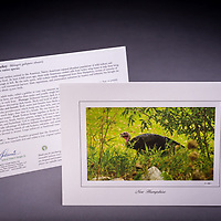 Now quite abundant in NH, this native bird was almost extinct at the turn of the century.  Interesting history and quirky facts about the turkey are included on the back of the card. <br />