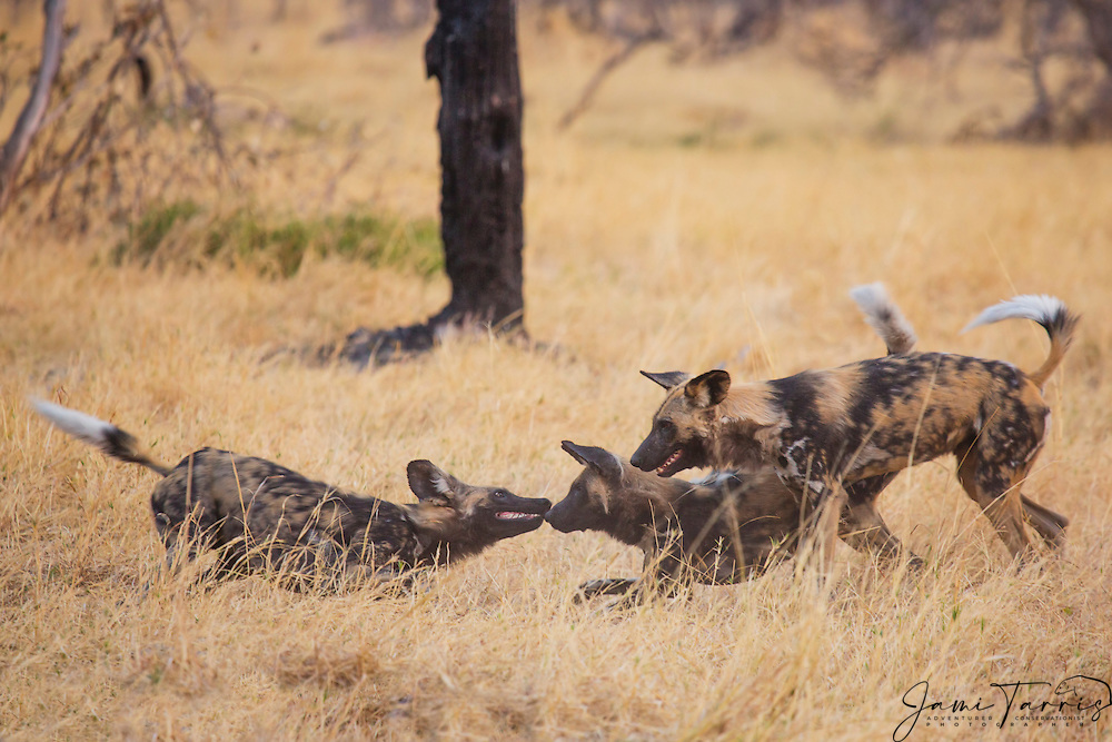 A subordinate African Wild Dog (Lycaon pictus) lowers his body as a gesture of lower rank when greeting the pack, Moremi Game Reserve,Botswana, Africa