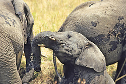 Young Elephant Wallowing In The Mud
