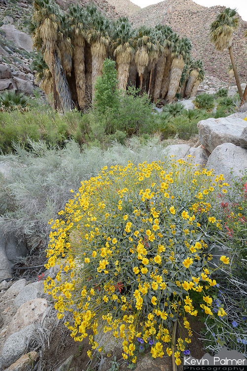 Colorful wildflowers surrounded the oasis in Borrego Palm Canyon.