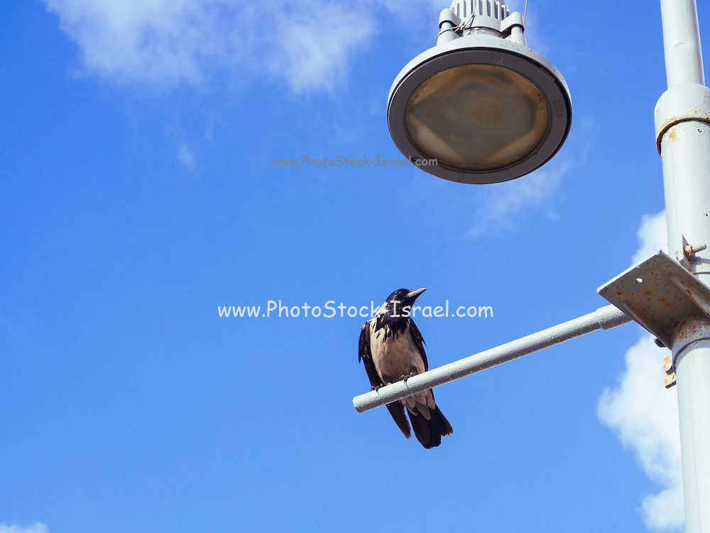 Hooded Crow (Corvus cornix) perched on a lamp post with blue sky background. Photographed in Israel In May