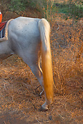 The tail and hind legs of a horse