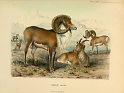 Tibetan argali (Ovis ammon hodgsoni) colour illustration From the book ' Wild oxen, sheep & goats of all lands, living and extinct ' by Richard Lydekker (1849-1915) Published in 1898 by Rowland Ward, London