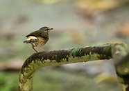 Buff-rumped Warbler, Myiothlypis fulvicauda