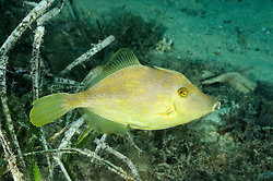 Stephanolepis diaspros, Reticulated leatherjacket, Stephanolepis diaspros, Reticulated leatherjacket, Feilenfisch, Einwanderer aus dem Roten Meer,  Xwejni Bay, Gozo, Malta, Sued Europa, Mittelmeer, Mare Mediterraneum, Sotuh Europe, Mediterranean Sea