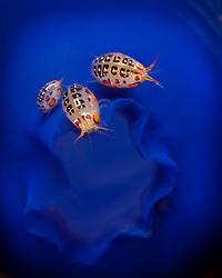 Smaller than match heads, a trio of tiny Ladybug Amphipods, Cyproidea sp., perch on a tunicate, itself  no bigger than a grape. Komodo National Park, Banda Sea, Indonesia, Pacific Ocean