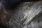 The silver fur on the back of a silverback gorilla (Gorilla beringei beringei),Bwindi Impenetrable Forest, Uganda, Africa