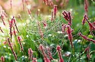 Persicaria amplexicaulis 'Firedance', spider's web