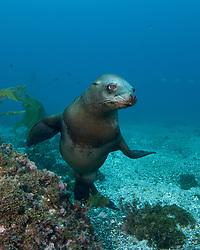 California Sea Lion, Zalophus californianus, Sutil Island, Channel Islands, California, Pacific Ocean