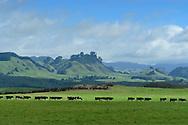 Oceania, New Zealand, Aotearoa, North Island, Taupo, Landscape , Cow pasture,