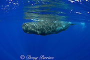 baby sperm whale calf ( Physeter macrocephalus ) Endangered Species<br /> Kona Hawaii ( Central Pacific Ocean ) (dm)