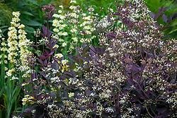 Clematis recta 'Purpurea'  - Purple ground clematis - with Sisyrinchium striatum - Yellow Mexican satin flower