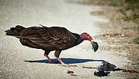 Turkey Vulture Having Brunch. Biolab Road, Merritt Island National Wildlife Refuge. Image taken with a Nikon D4 camera and 500 mm f/4 VR lens (ISO 640, 500 mm, f/9, 1/2000 sec).