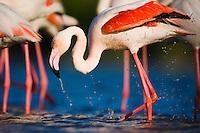 Greater Flamingo (Phoenicopterus roseus) in lagoon, bathing, Pont Du Gau, Camargue, France